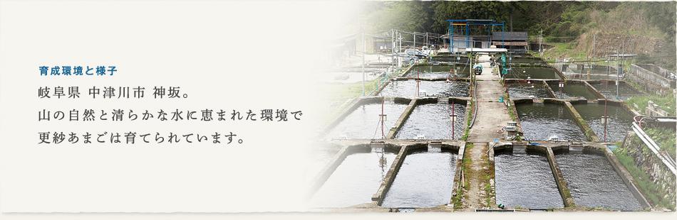 育成環境と様子 岐阜県 中津川市 神坂。山の自然と清らかな水に恵まれた環境で更紗あまごは育てられています。